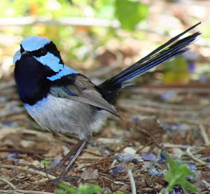 Superb_Fairy-wren_