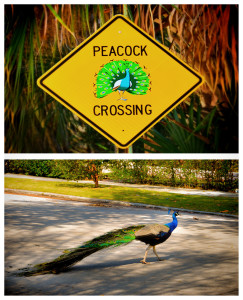 peacock-sign