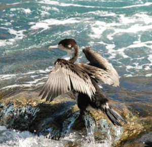 shag at akaroa